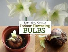 Would you like gorgeous flowers like these ones on your holiday table? The bulbs you see here are simple to grow and do not require any pre-chilling. If you've got a spot with bright sunlight for the growing...