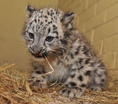 Belgium's Planckendael Zoo is proud to announce the debut of Laila, the first Snow Leopard cub ever to be born in the country.