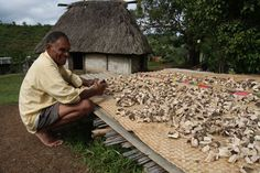In Bukuya village, Fiji, a man checks on dried Kava roots, used to make a brew with relaxing properties.