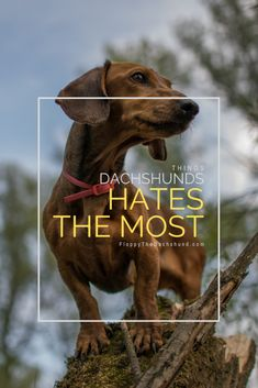 The List of Things Dogs Hates the Most Dachshund Facts, Dachshund Breed, Dachshund Puppies For Sale, Dapple Dachshund, Funny Dachshund, Dachshund Love, Corgi Dog, Cute Puppies, Cute Dogs
