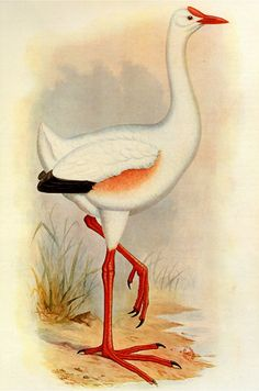 Leguatia gigantea, as painted by Frederick W. Frohawk in 1905 for Lord Walter Rothschild's book Extinct Birds (1907)