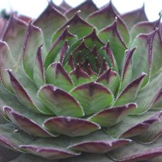 Sempervivum Red Rum S-1237  Beautiful deep olive green leaves with purple tips. Great summer color. Large.   https://www.simplysucculents.com/online-store/products/166