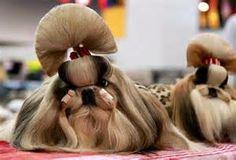 Japanese style shih tzu grooming