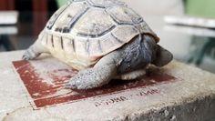 Kaplumbağa Ama Kafası Yok