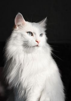 Turkish Angora Cat, Angora Cats, Pretty Cats, Beautiful Cats, Kittens Cutest, Cats And Kittens, Scottish Fold Kittens, Owl Cat, Gatos Cats