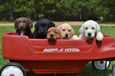 Labrador Retriever Puppies For Sale In Wisconsin | Healthy AKC Lab Puppies In Fox Red, Yellow, White, Black, And Chocolate