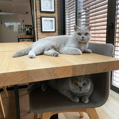 British Shorthair Cattery Dos Aguas Gatos British, Gato Grande, Cattery, Gandalf, British Shorthair, Alice In Wonderland, Photo And Video, Grey, Cats