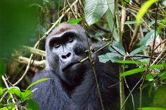 Un encuentro con el gorila occidental de planicie del Congo puede ser una experiencia sobrecogedora. Fotografía de Stuart Butler / Lonely Planet.