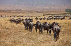 Wildebeest in Ngorongoro.     Photo by Thomson Safaris' guest, Wesley Bernard. Taken during a Highlights of Tanzania Safari, September 2010.     www.wesleybernardphoto.com
