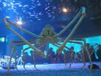 japanese spider crab - Google Search
