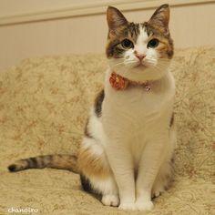 2016/04/24 #サリュねこの日総選挙 に応募します 甘えん坊おてんばショートスリーパーの茶乃です よろしくお願いします  #cat #猫 #catstagram #catsofinstagram #instacat #三毛猫 #calico #igcutest_animals #weeklyfluff #ふわもこ部 #ブヒブヒ倶楽部マネージャー#IGersJP #おちょぼ口部 by chanoiro