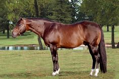 Zips Chocolate Chip - one of the greats. Both of my Quarter Horses have been out of ZCC mares. Love the minds and their jogs! One of the great Western Pleasure horses and sire of youth horses.