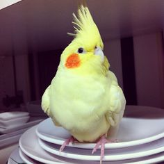 Cockatiel - she will poop on that saucer if you don't watch her.