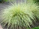 Carex Evergold - Ground cover ornamental grass for shade! Thrives with Hardy Ferns, Hydrangeas, Heuchera, Hosta, Shade Plants