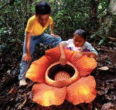 The largest flower in the world, this parasitic plant can bloom over three feet tall. Despite its alluring appearance, the plant exudes a pungent smell and has no leaves, stems or roots.