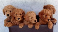 Goldendoodle Puppies and Bernedoodle Puppies by Adorable Doodles