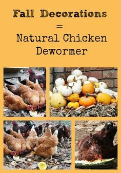 Describes how the seeds from squash, pumpkins, and gourds may be used as a natural chicken dewormer for backyard chickens.