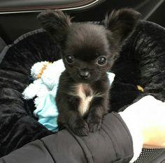Super Cute Puppies, Baby Animals Super Cute, Little Puppies, Cute Dogs And Puppies, Baby Dogs, Cute Funny Animals, Doggies, Cute Chihuahua, Chihuahua Puppies
