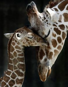 Mother and calf love!