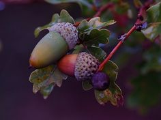 "splendiferoushoney: "" acorns by Sylviane NATOL """