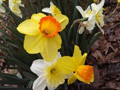 The Daffodils today at Grand View Nursery on the mountain ridge in Charlottesville, Virginia.