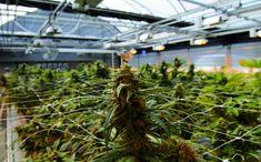 How to Build a Greenhouse for Cannabis Production - Greenhouse Product News Cannabis Seeds Online, Cannabis Seeds For Sale, Cannabis Growing, Cannabis Oil, Marijuana Plants, Marijuana Leaves, Cannabis Plant, Weed Buds