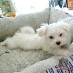 Maltese puppy - Danni