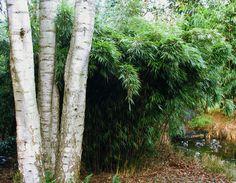 Fargesia rufa 'Valkenswaard' (= F. dracocephala)