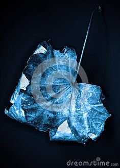 closeuo-beautiful-single-blue-silver-autumn-leaf-matt-dark-black-background Blue And Silver, Black Backgrounds, Autumn Leaves, Dark, Beautiful, Fall Leaves