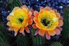 Echinopsis Cactus blooms