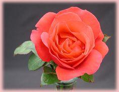 Gypsy Hybrid Tea Rose | Gypsy Rosa Hybrid Tea from Regan Nursery