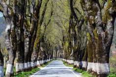 Marked ash trees mark a typical Alentejo route   #Portugal