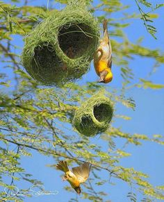 Weaver birds, Asia & Africa. Small passerine birds, highly complex woven…