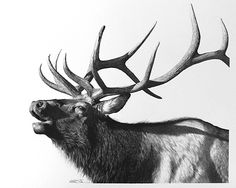 Pencil Drawing Patterns Mid-Season Bull by William Harrison Wolff Carbon Pencil ~ x Animal Sketches, Animal Drawings, Pencil Drawings, Art Drawings, Elk Images, Elk Pictures, Elk Drawing, Elk Silhouette, Animal Paintings