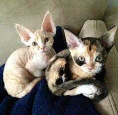 Devon Rex kitties Dexter & Clementine