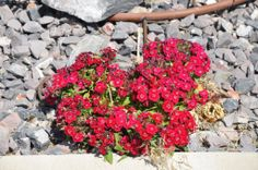 Small red flowers in front of house on 06/04/2014.