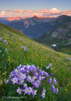 Columbines on Center Stage San Juan National Forest, Colorado