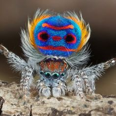 Peacock Spider a species native to eastern Australia.