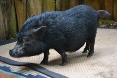 Meet Sassy our teacup potbellied pig at Dade City's Wild Things