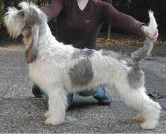 Dog Breeds That Start with G - American Kennel Club Petit Basset Griffon Vendeen, Griffon Dog, Hound Dog Breeds, Basset Hound, Otterhound, Every Dog Breed, Group Of Dogs, Dog List, Different Dogs