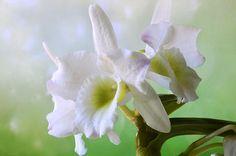 Floral portrait of a white Dendropium Nobile Orchid