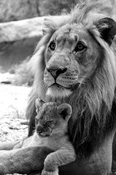 lion and baby #Animals #cats #cute #animals #deer #dogs #kittens #lions #Photography #Pictures #puppies #squirrels #tigers #wolves #pets, #funny
