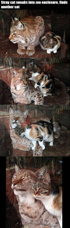 Stray cat sneaks into zoo and finds other cat.