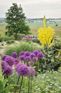 Verbascum, floare vedeta pentru gradini puternic insorite! | Gradinar Original.blog