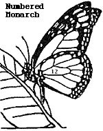 Information about Monarch butterflies, including babysitting the pupae, should you be interested in that.