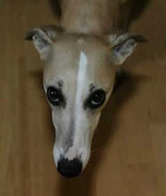 ♥♥ Whippets have the most expressive eyes!