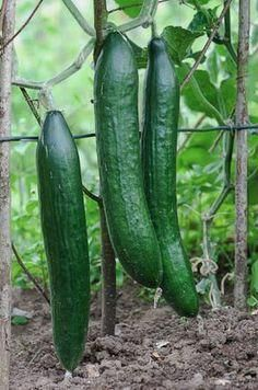 Tips for growing the best cucumbers #organicgardenforvegetables