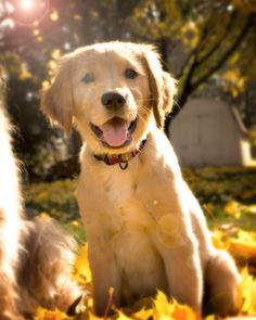 golden retriever - best dogs ever! Baby Dogs, Pet Dogs, Dog Cat, Pet Pet, Doggies, I Love Dogs, Puppy Love, Happy Puppy, Cute Puppies