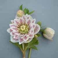 Tarhajouluruusu'Cinderella'Kukkanuput kehittyvät jo lumen suojassa ja alkavat kasvaa säiden lämmetessä.Kukkavanat kehittyvät keskelle mätästä ja ne ovat täynnä kukkia.Kukat ovat kuvankauniita:valkoiset terälehdet, joissa on pieniä punaisia ja vaalenpunaisia täpliä verholehdillä,ja hienon lisäsävyn antaa keltaiset heteet,jotka ympäröi vihreää kukan keskusta.Istuta 'Cinderella' puolivarjoisaan paikkaan. Kauniin muotoiset siemenkodat lisäävät tämän lajikkeen kauneusarvoa vielä kukinnan…