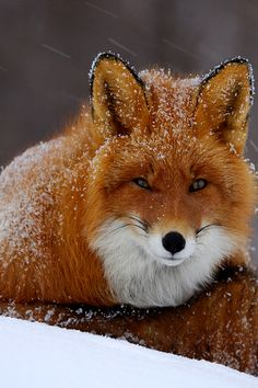 wonderous-world: Snowy Fox by Igor Shpilenok